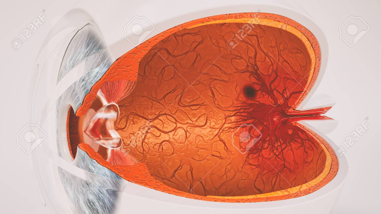 Human Eye Anatomy Very Detailed In Cross Section Stock Photo