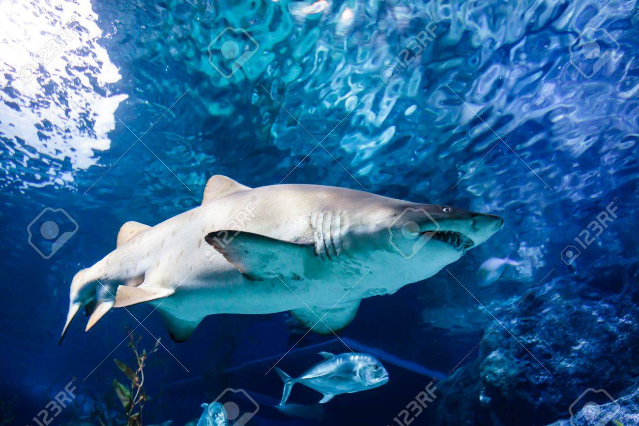 White and gray ragged tooth shark under the water - 20943900