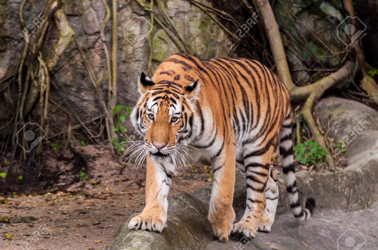 Orange and black striped bengal tiger walking on the rock - 21292743