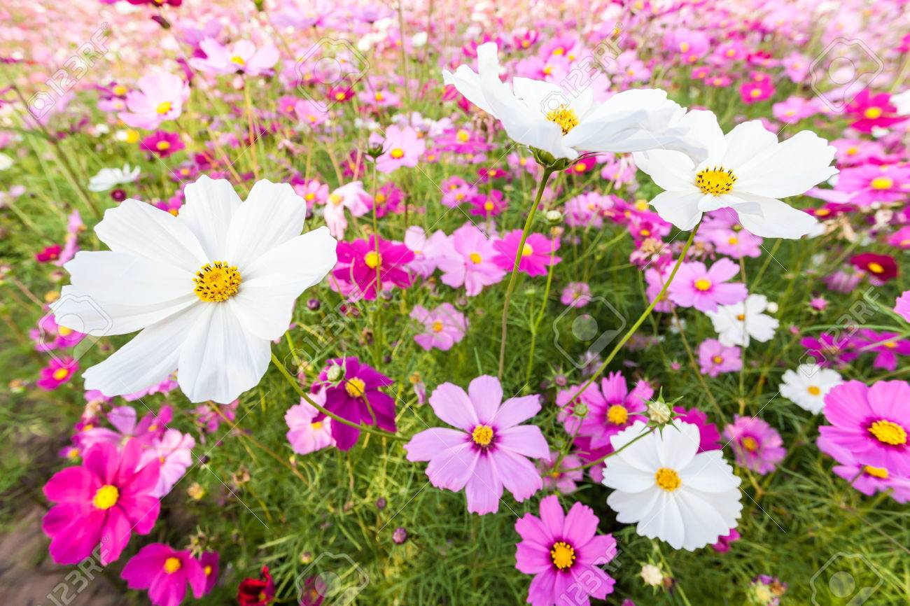 White Cosmos Flowers Among Pink On Field Stock Photo Picture And