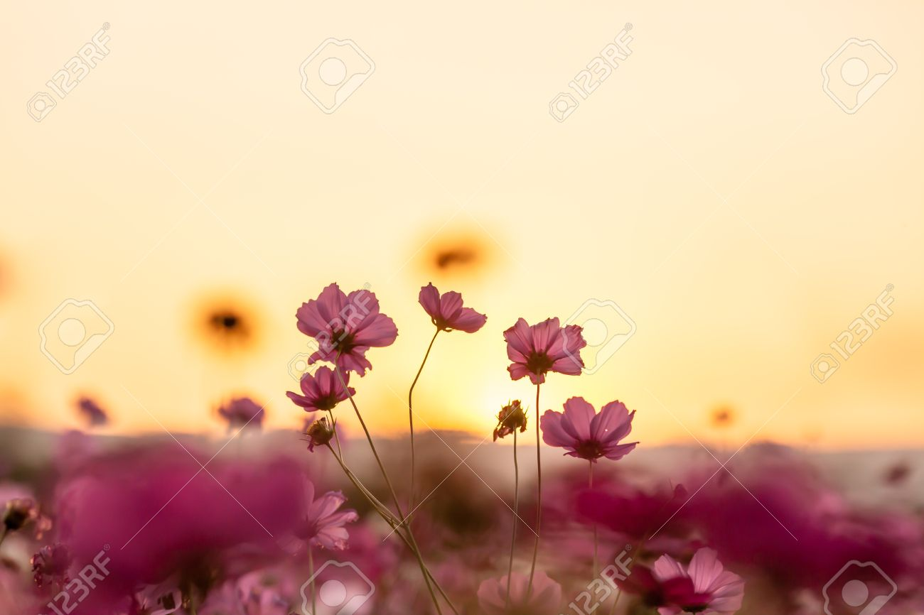 Pink cosmos on field in sunset time - 25179944