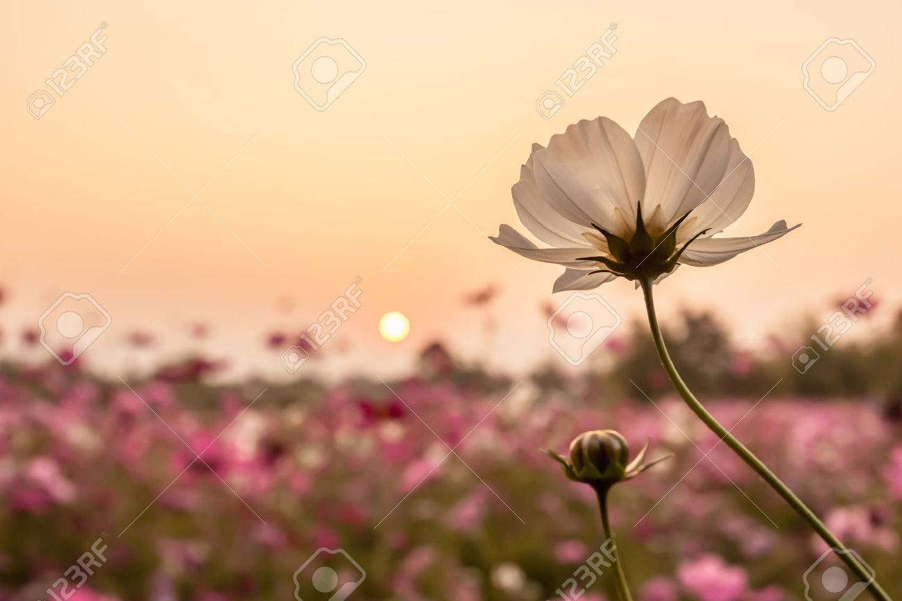 white cosmos on field in sunset time - 25216608