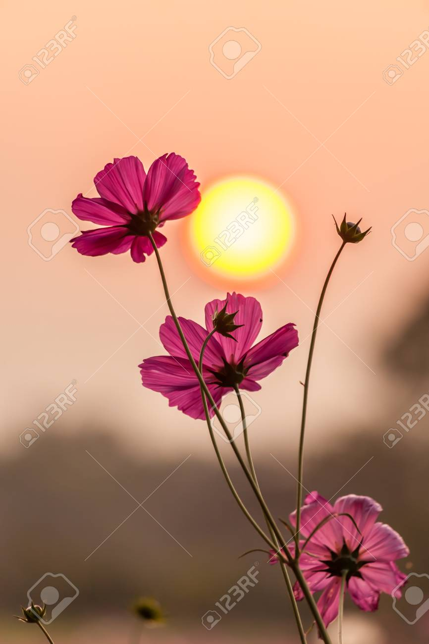 Pink cosmos on field in sunset time - 25216610