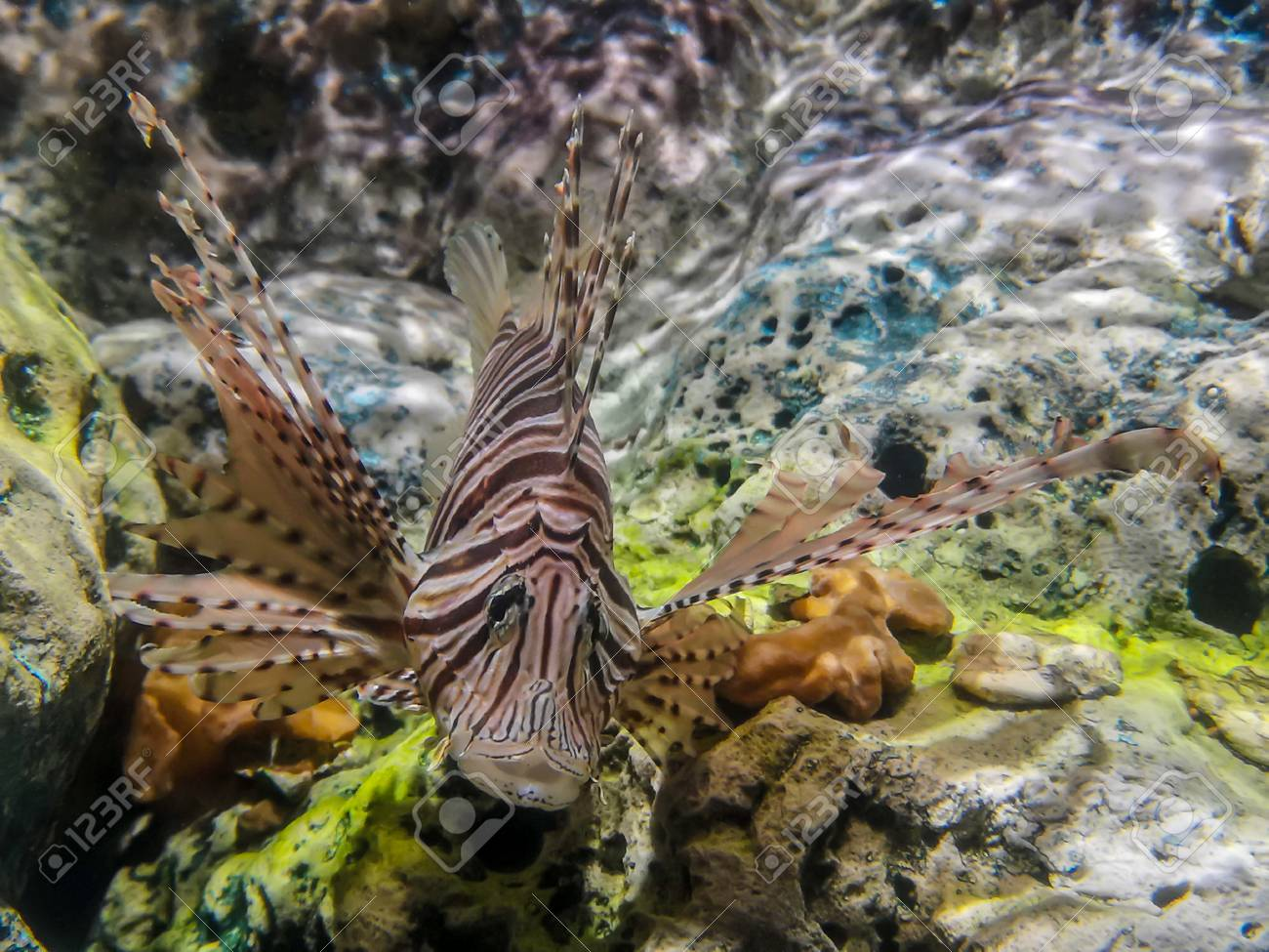 Tropical fish lionfish diving under sea water - 105621704