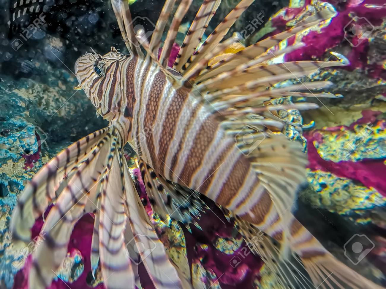 Tropical fish lionfish diving under sea water - 105621708