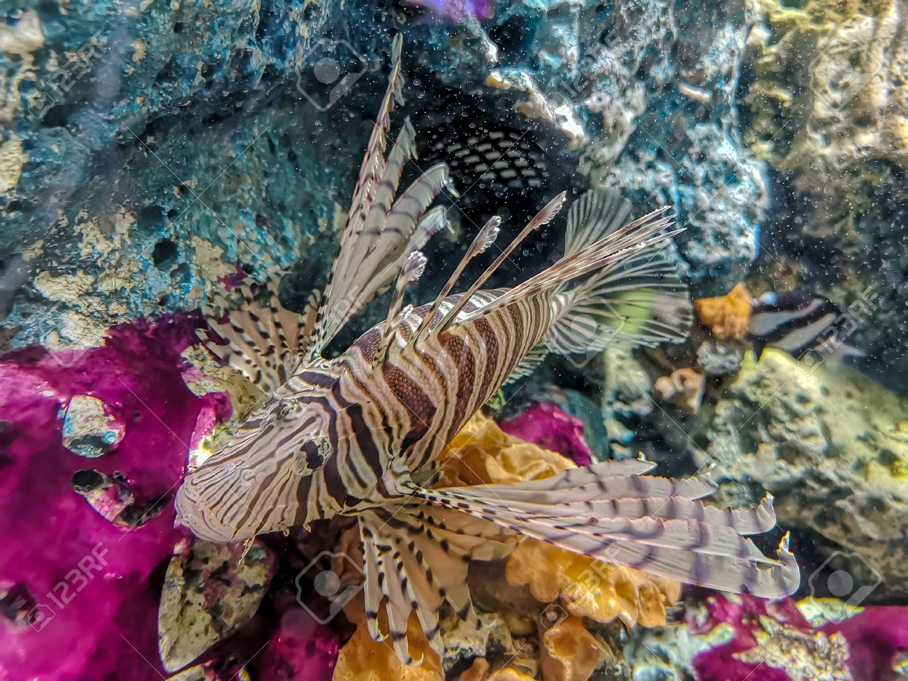 Tropical fish lionfish diving under sea water - 105621714