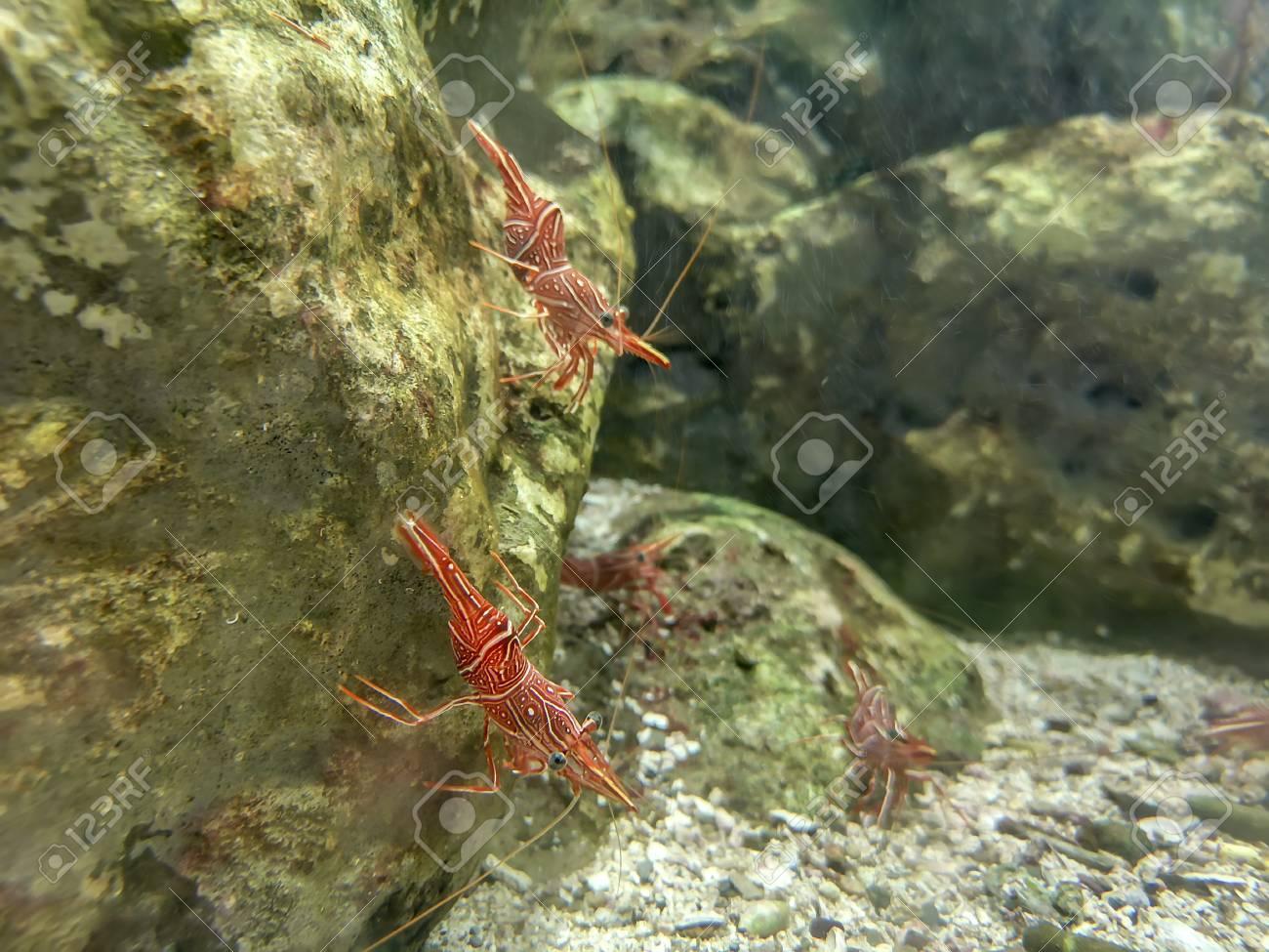 Red camel shrimp or hinge-beak shrimp on rock under water - 105929056
