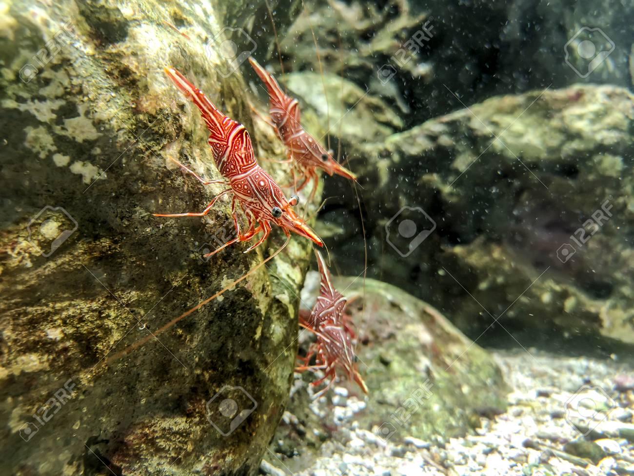 Red camel shrimp or hinge-beak shrimp on rock under water - 105929060