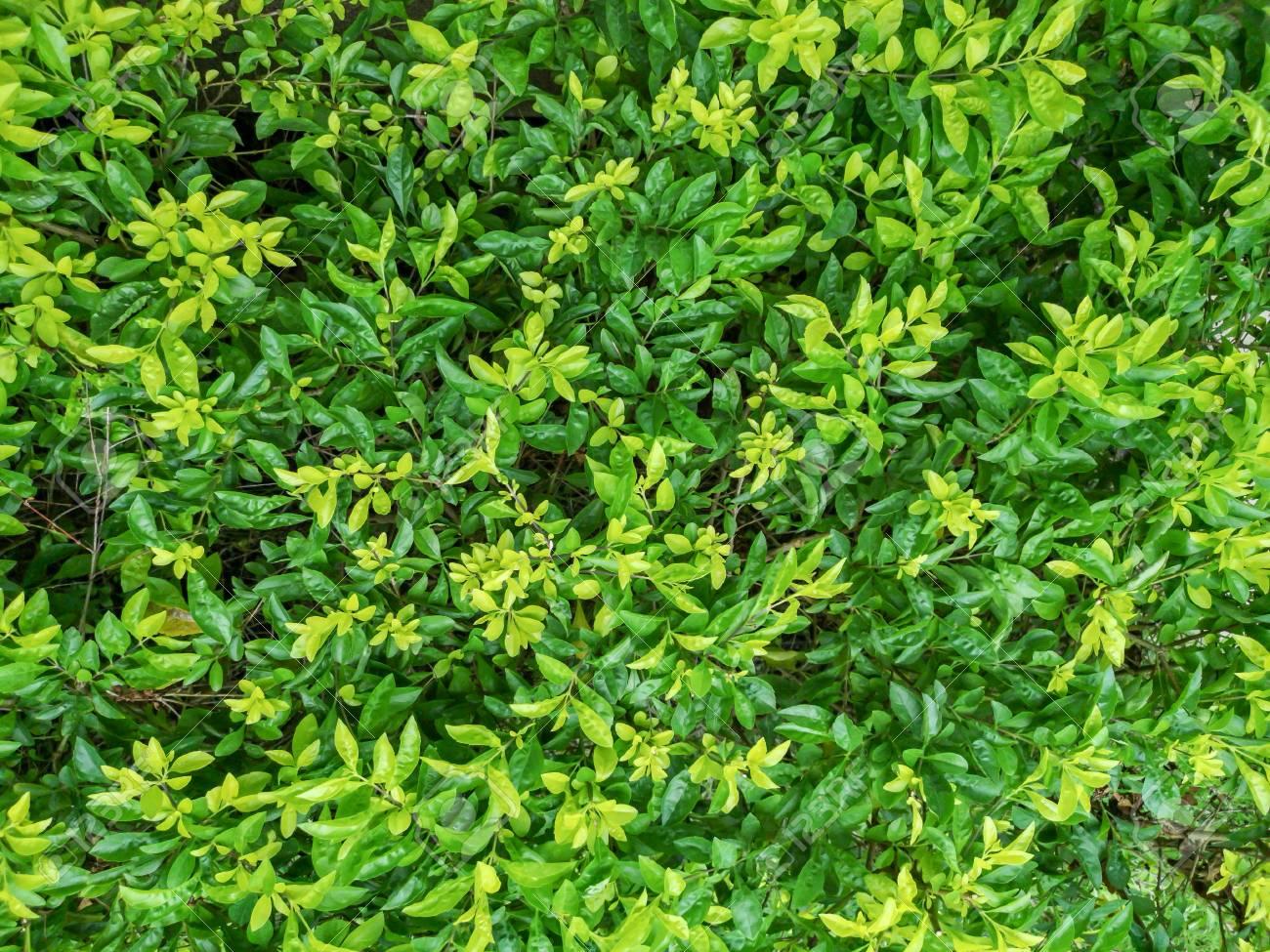 Green fresh natural leaves background in garden - 106141228