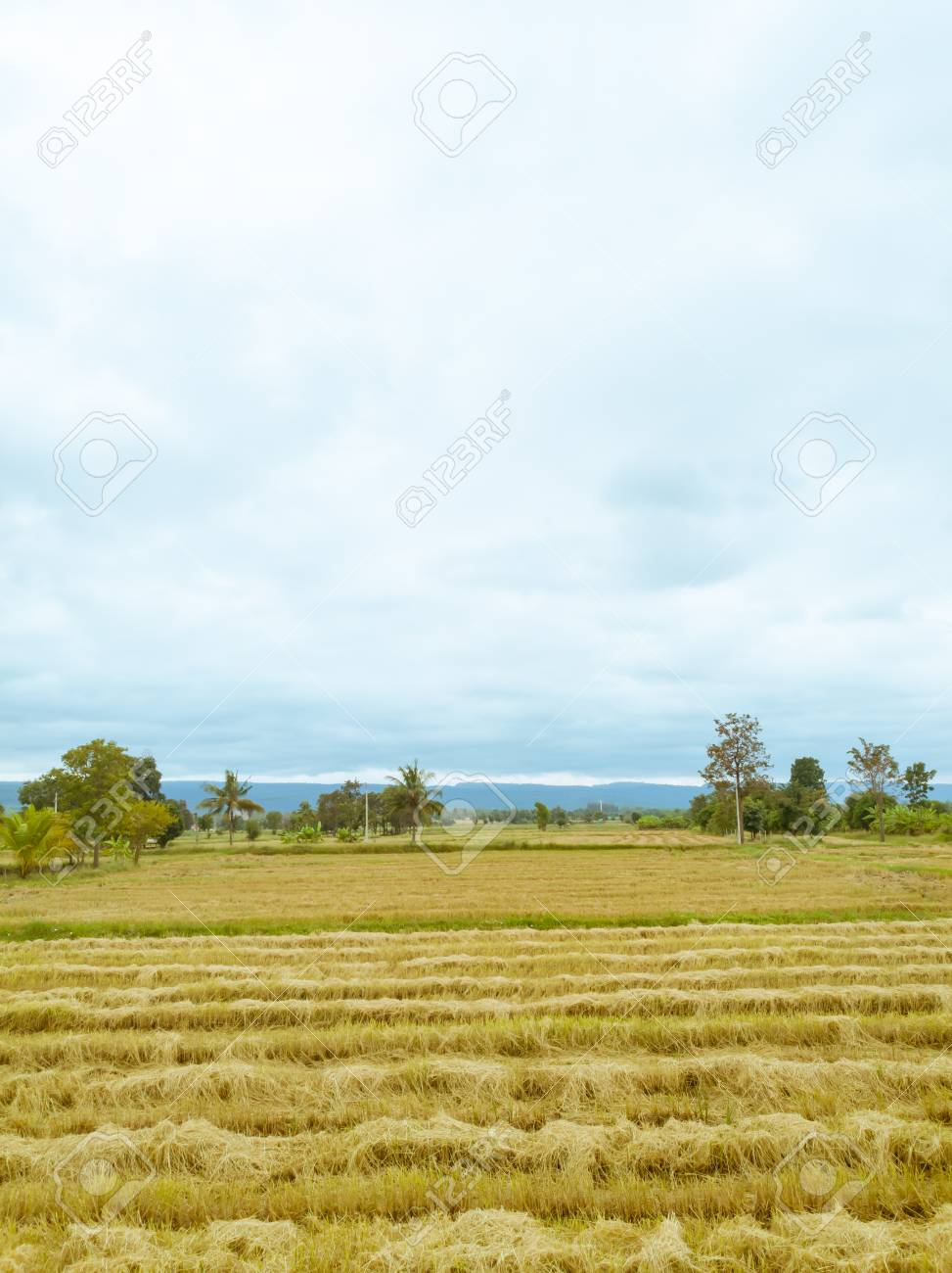 Rice paddy field after harvest season in Thailand against cloudy blue sky - 106236380
