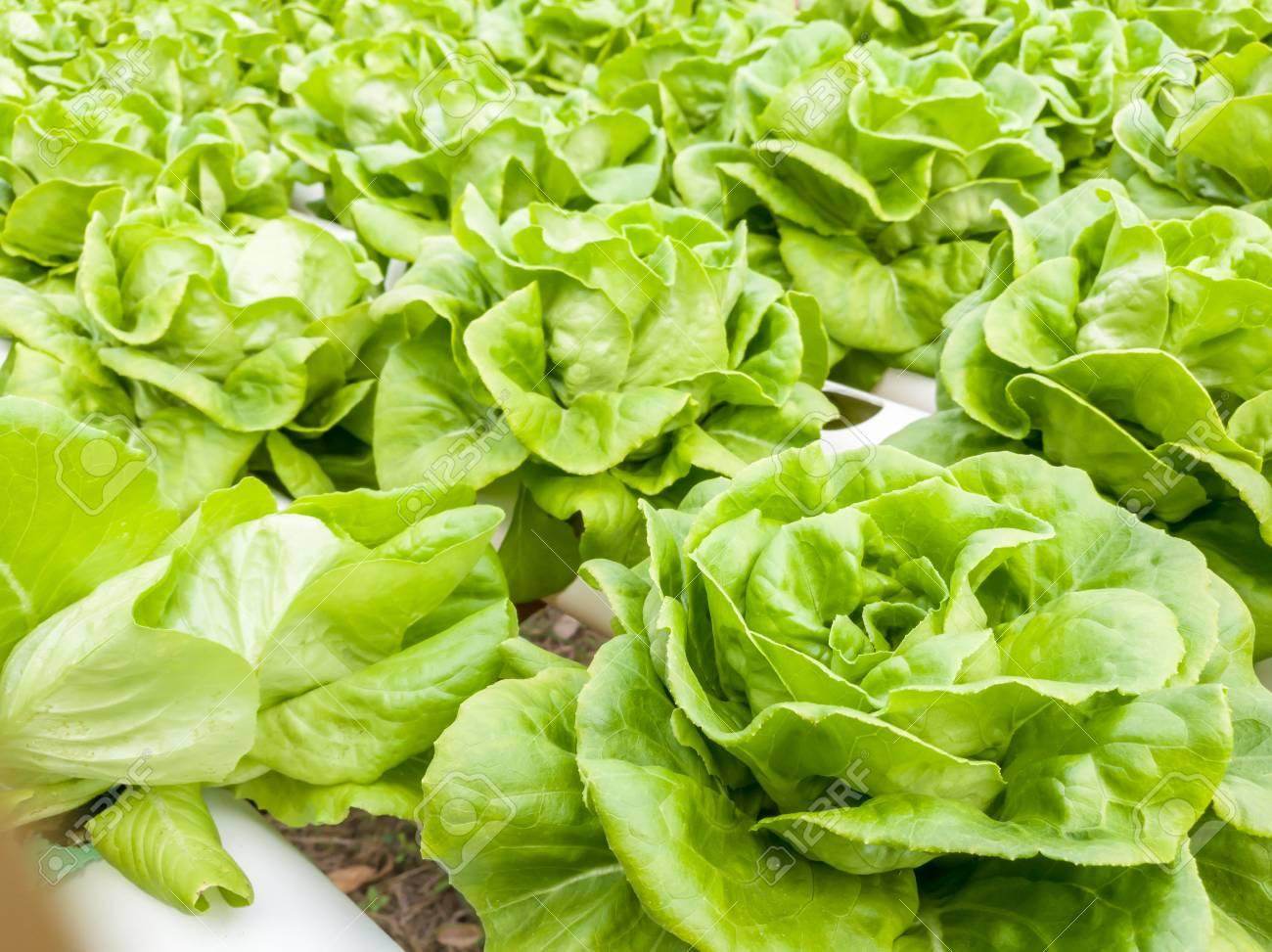 Salad vegetable green fresh lettuce in farm close up - 106236398