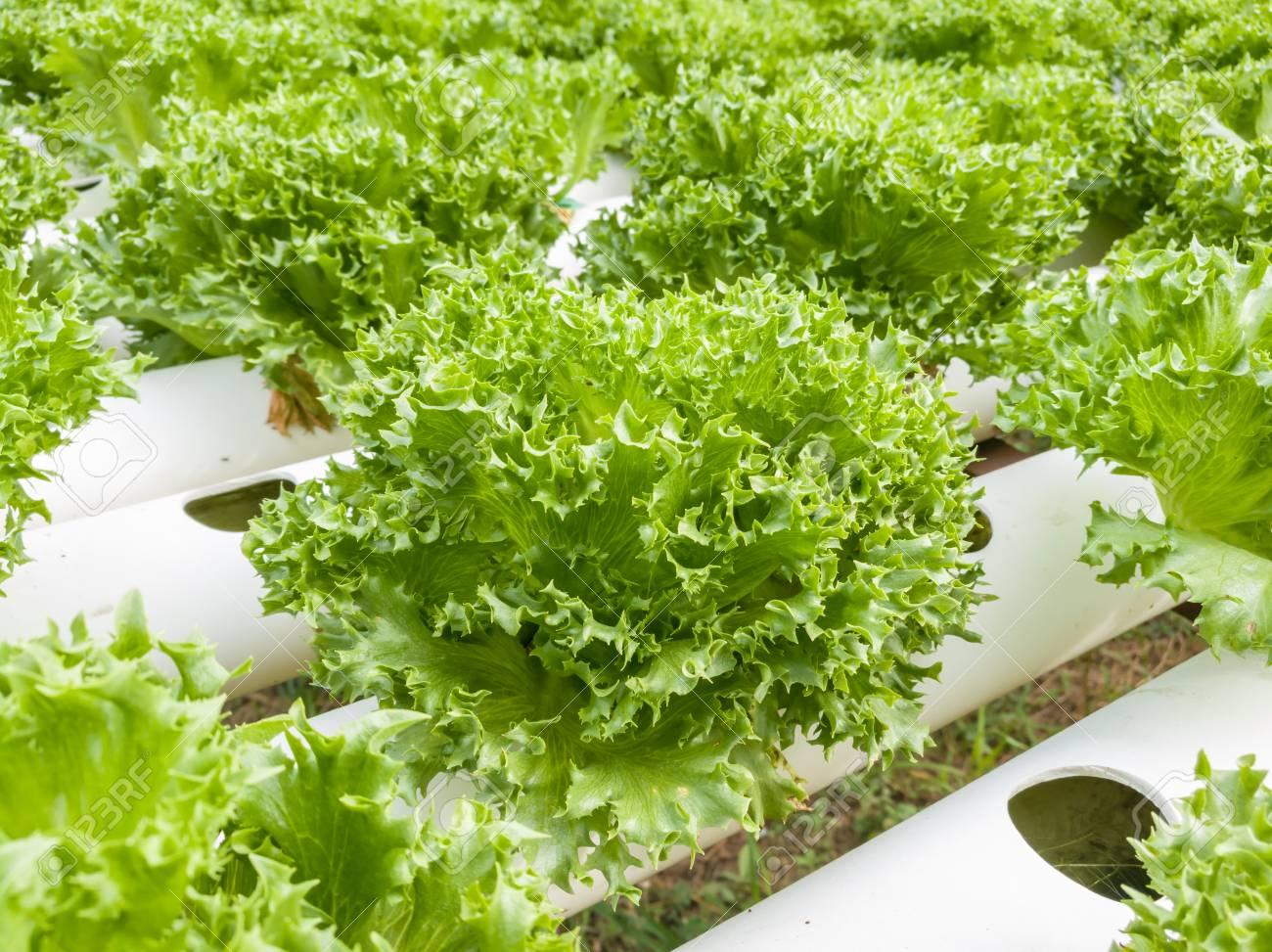 Salad vegetable green fresh lettuce in farm close up - 106236397