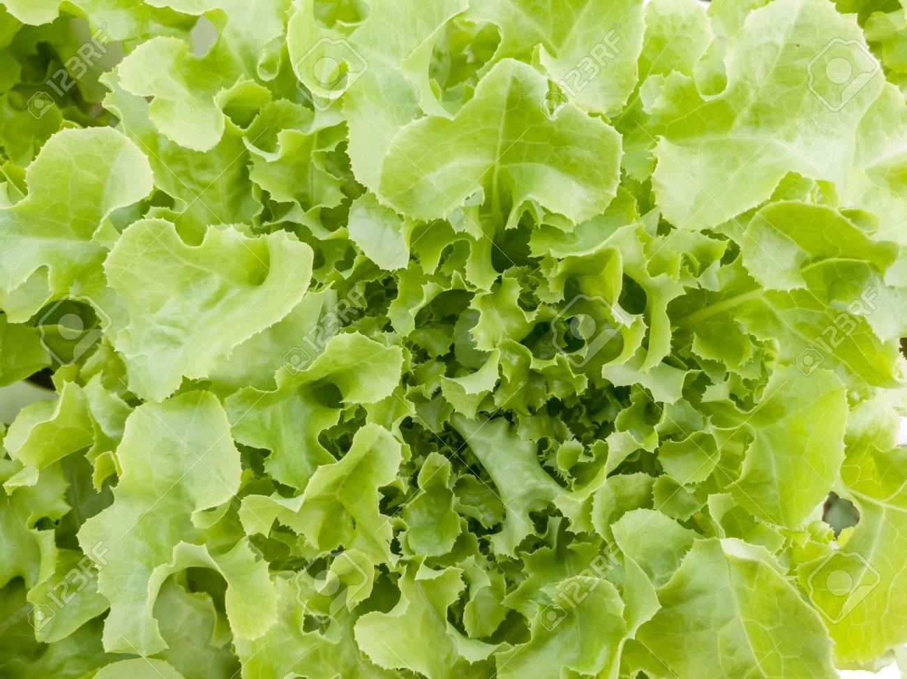 Salad vegetable green fresh lettuce in farm close up - 106236403
