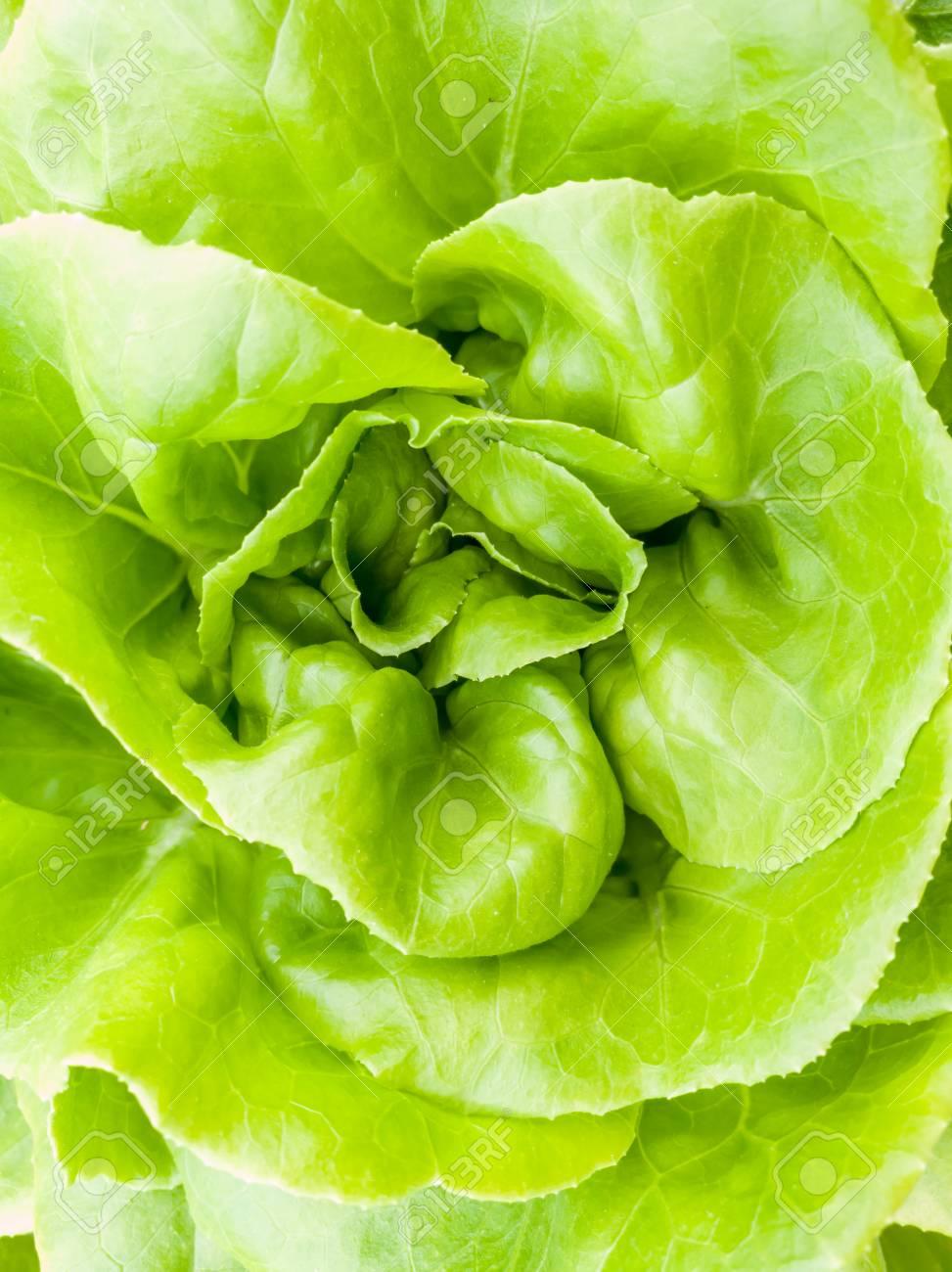Salad vegetable green fresh lettuce in farm close up - 106236400
