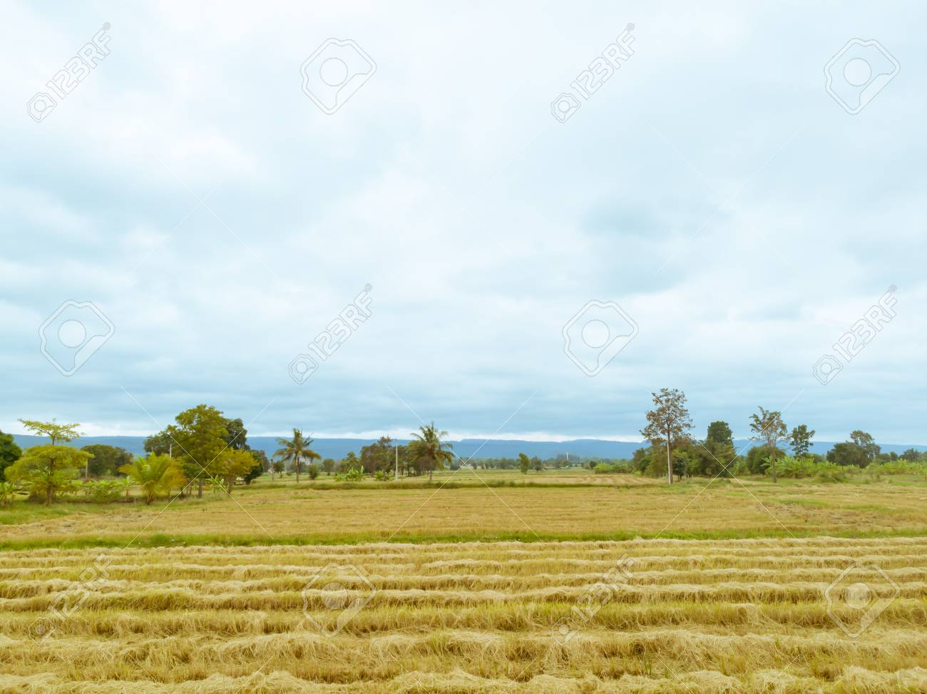 Rice paddy field after harvest season in Thailand against cloudy blue sky - 106236404