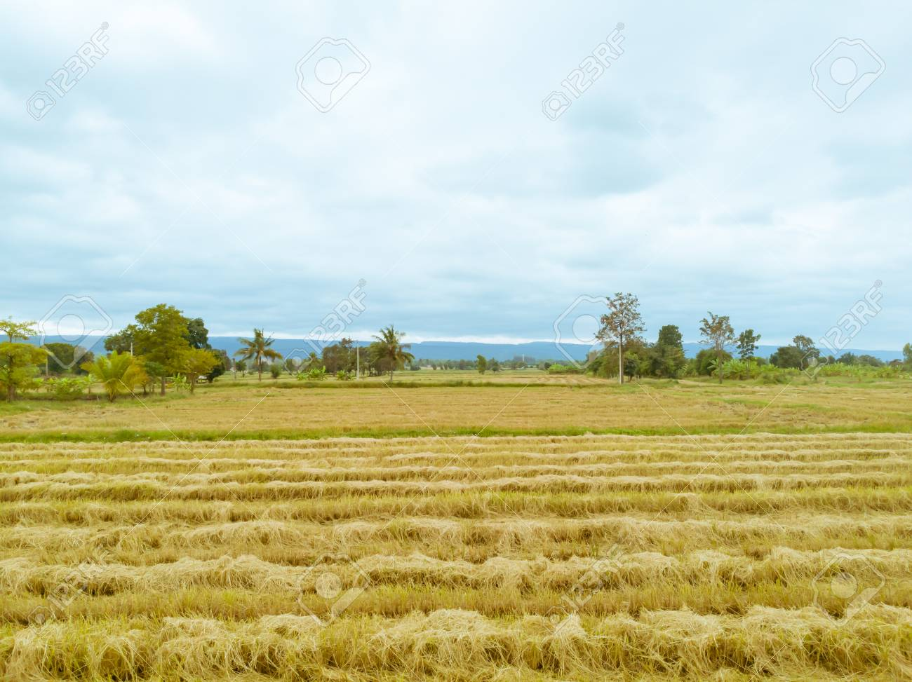 Rice paddy field after harvest season in Thailand against cloudy blue sky - 106266835