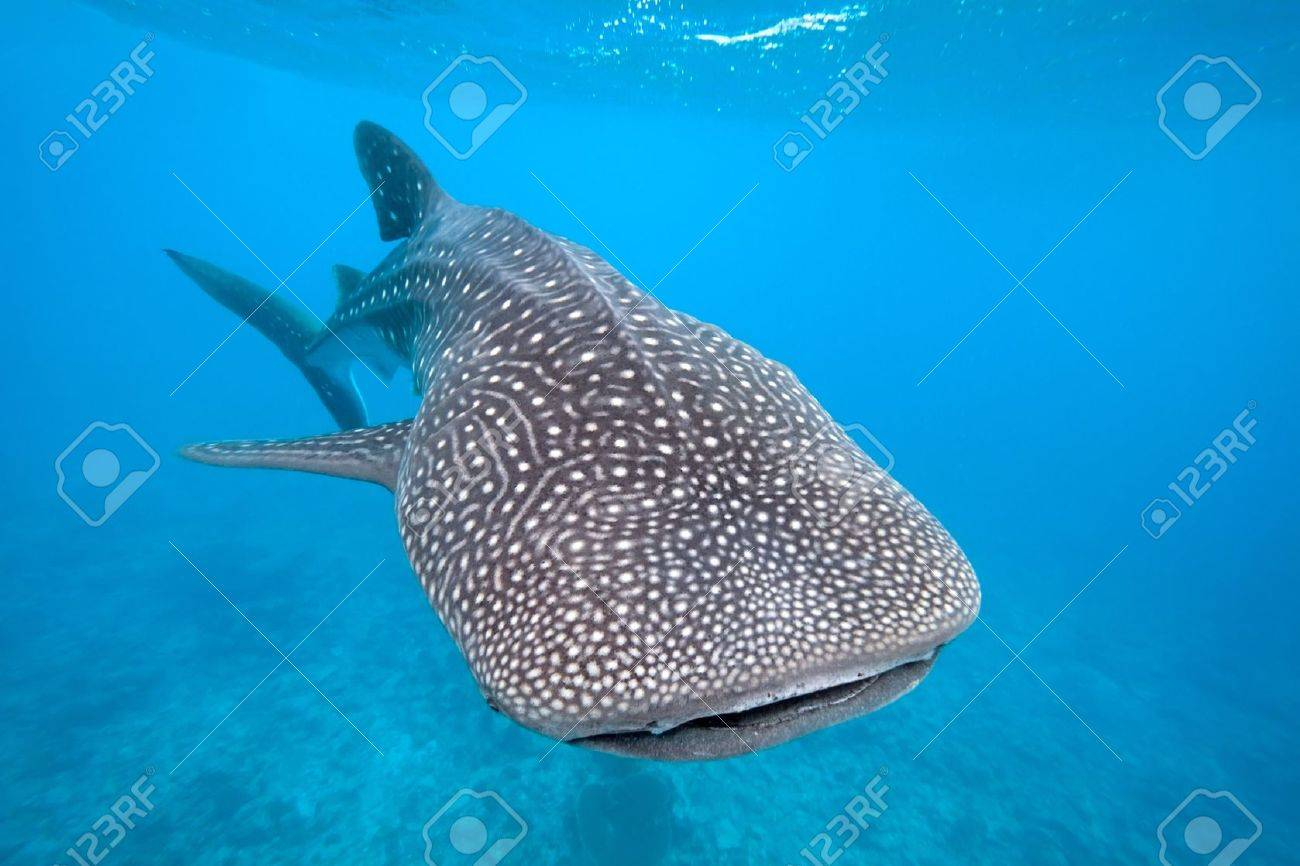 Whale shark Stock Photo - 8610464