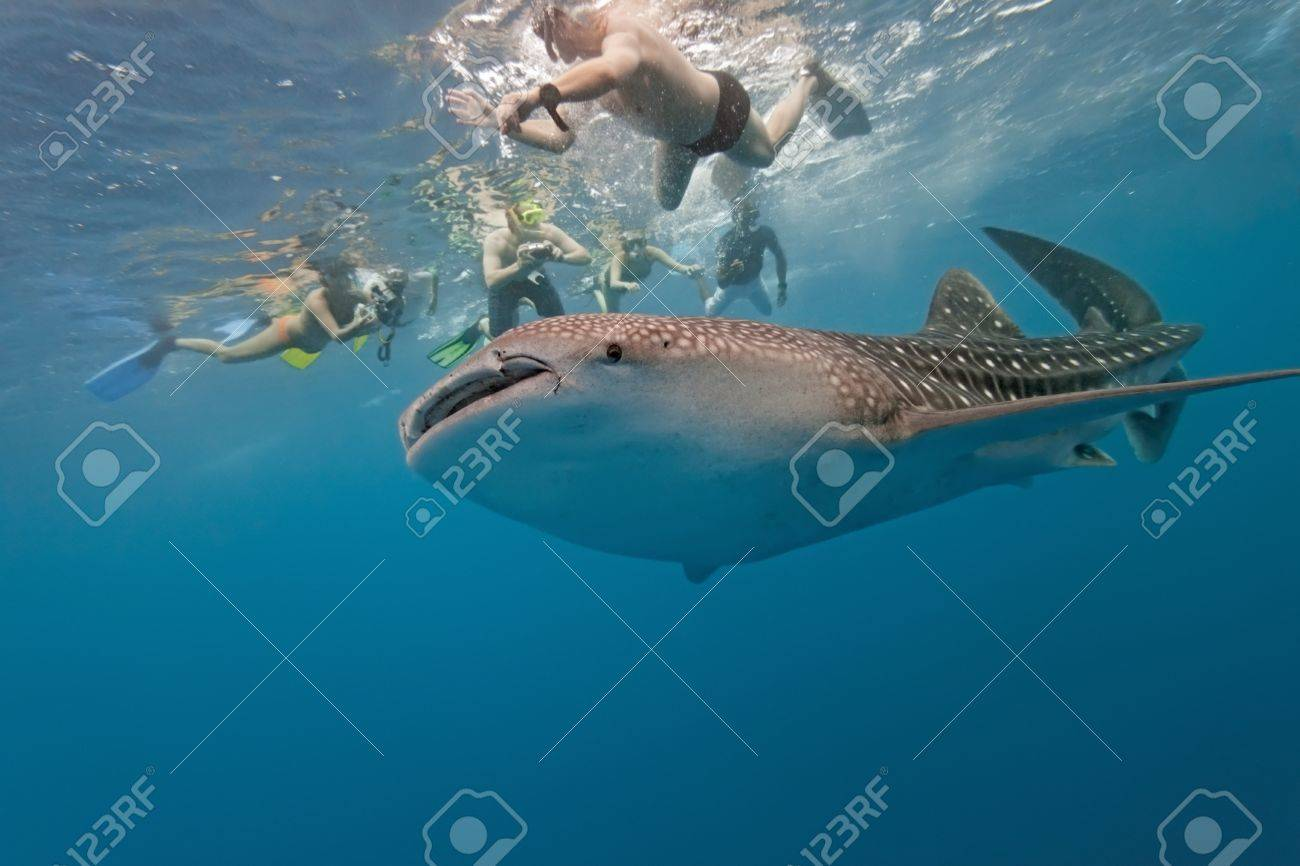 Whale shark and snorkeling people Stock Photo - 8689727