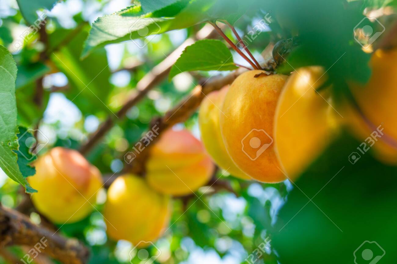 ripe apricots on a branch with leaves - 128611678