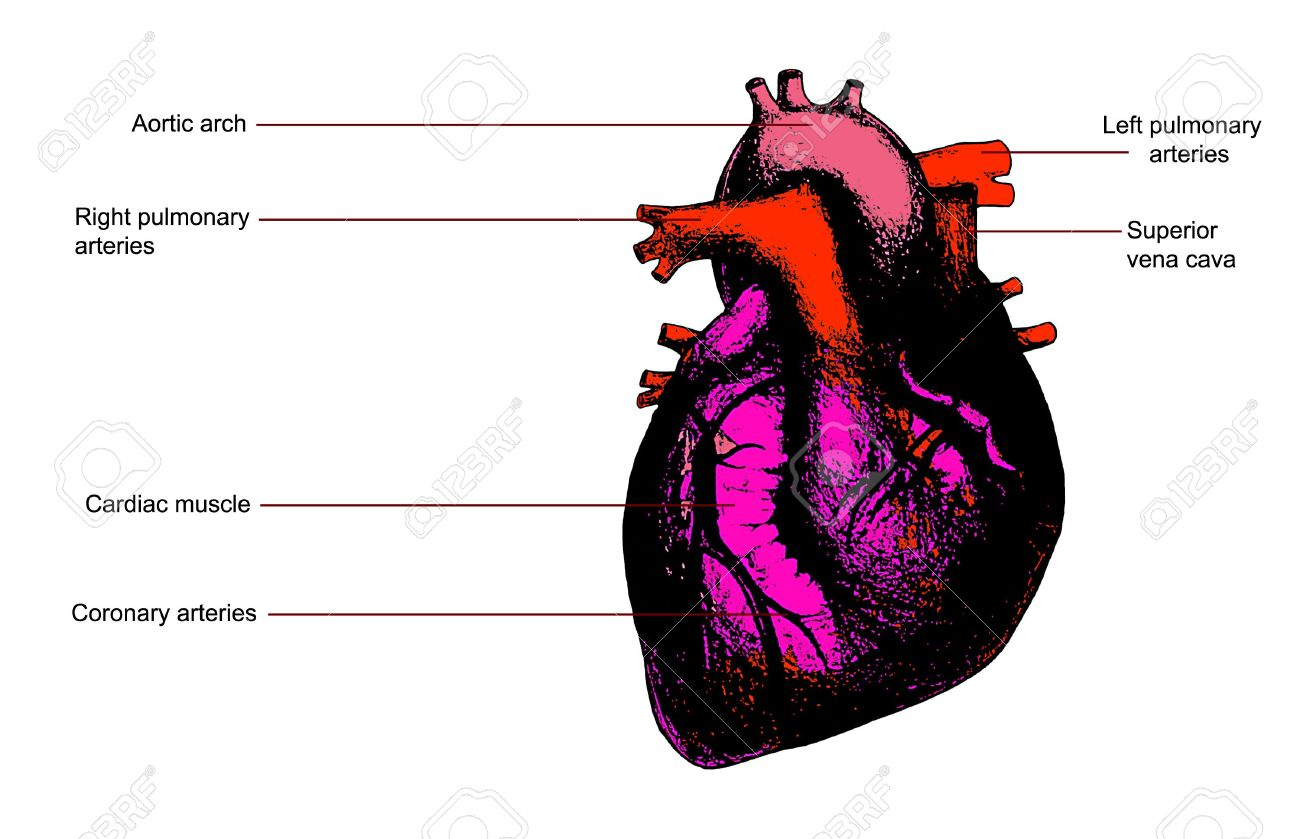 Color Human Heart Anatomy Illustration. Contains Legend Stock Photo ...