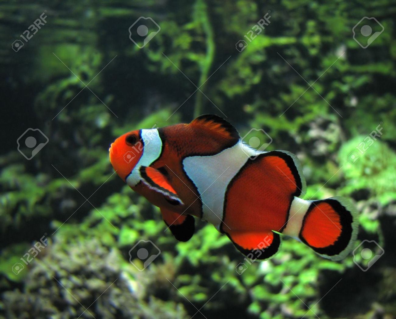 Clown Fish. Scientific Name: Amphiprion Ocellaris. Color Image Stock ...