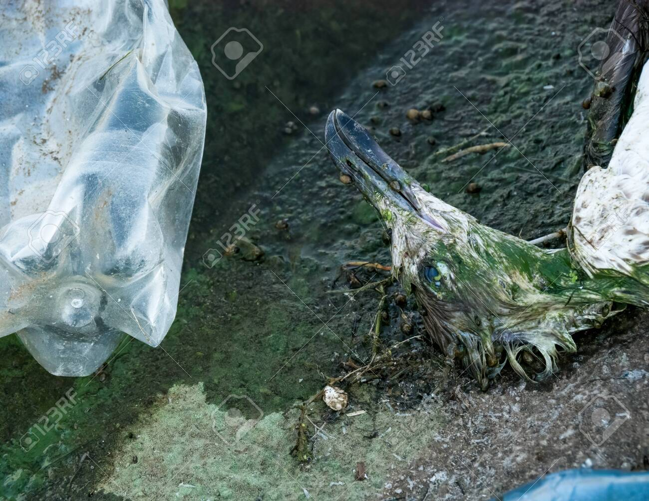 A Dead Seagull Or Bird At The Edge Of The Water Next To Plastic Stock Photo Picture And Royalty Free Image Image 154200822