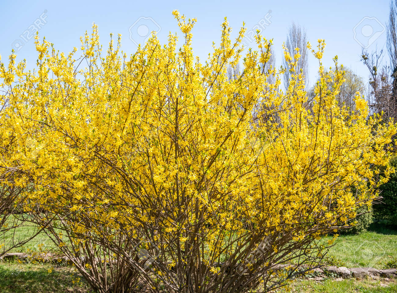 Forsythia suspensa flowers plant blooming, announcing the beginning of spring. - 169225850