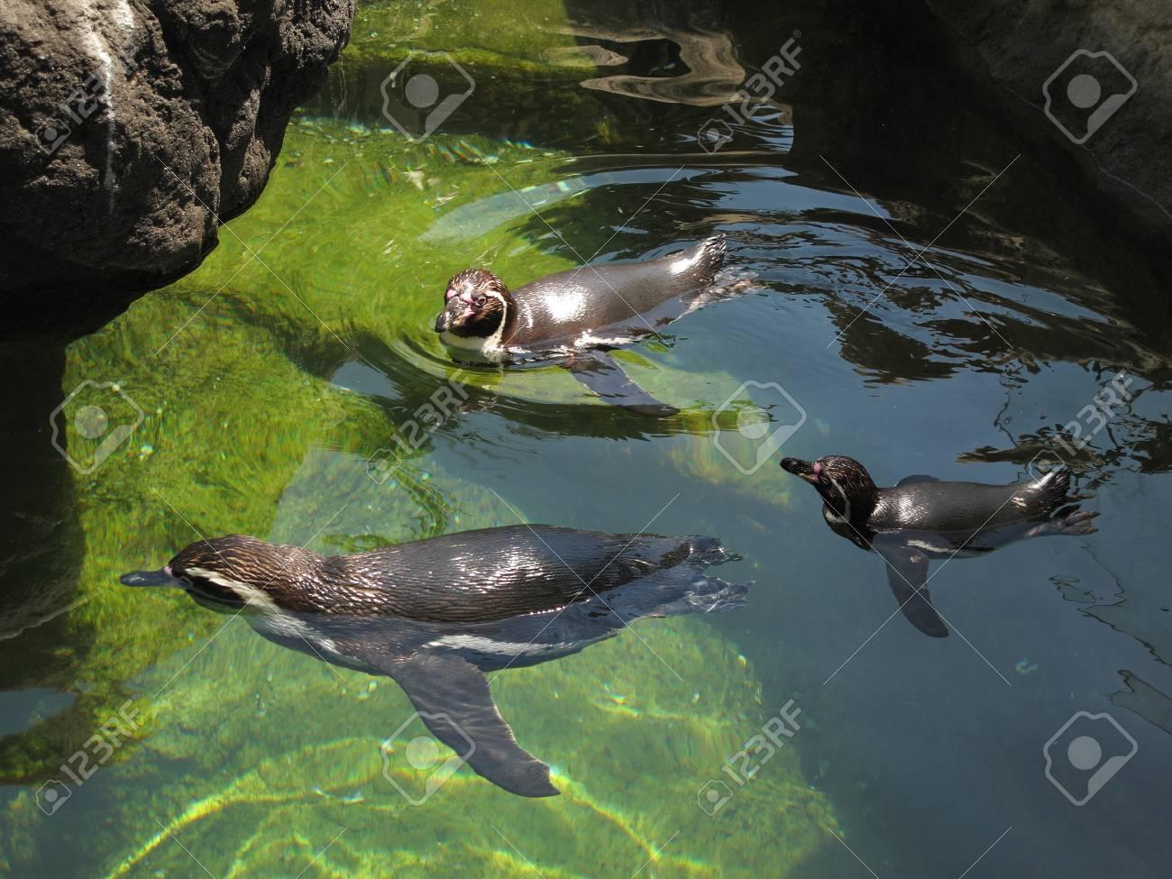 penguins Stock Photo - 10320387