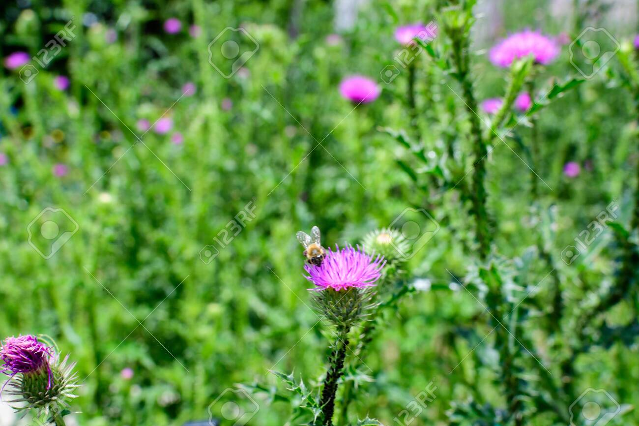 Delicate pink and purple flowers of Carduus nutans plant, commonly known as musk or nodding plumeless thistle, in a garden in a sunny summer day, national flower and symbol of Scotland, United Kingdom - 150469670