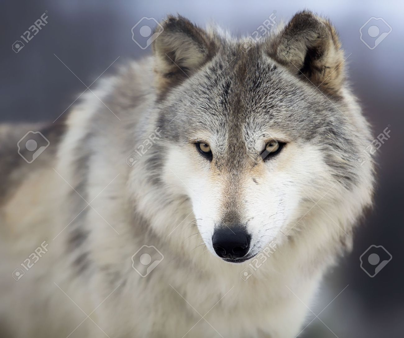 wolf images u0026 stock pictures royalty free wolf photos and stock