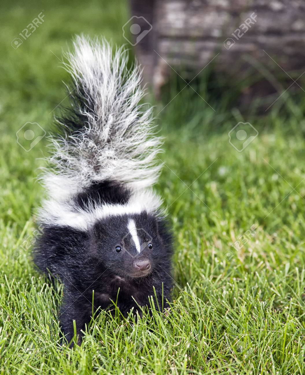 playground-closeup-picture-of-skunk-kendra-bridget