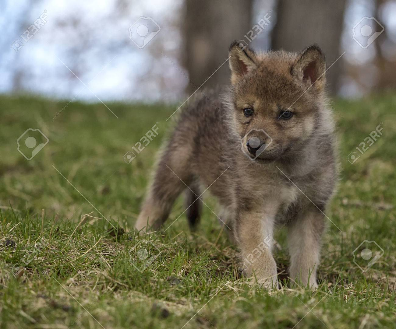 young gray wolf or timber wolf pup standing on a hillside stock