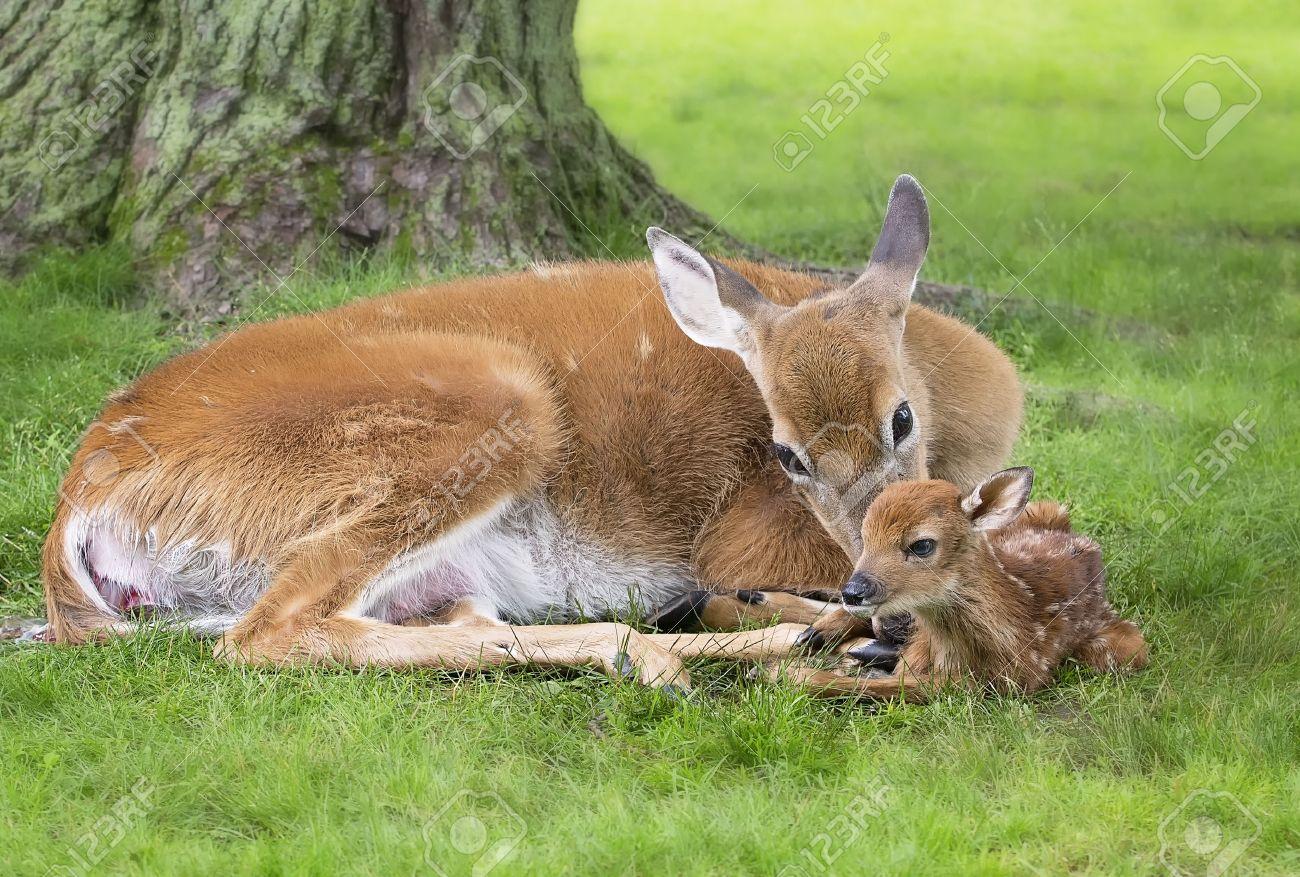 doe のオジロワシは 彼女の生まれたばかりの子鹿をクリーンアップします