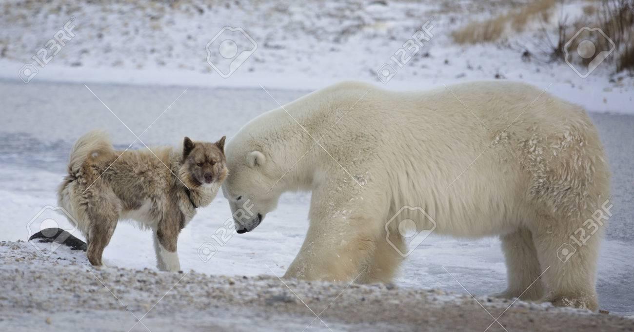 an unlikely pair. polar bear and canadian eskimo dog. late.. stock