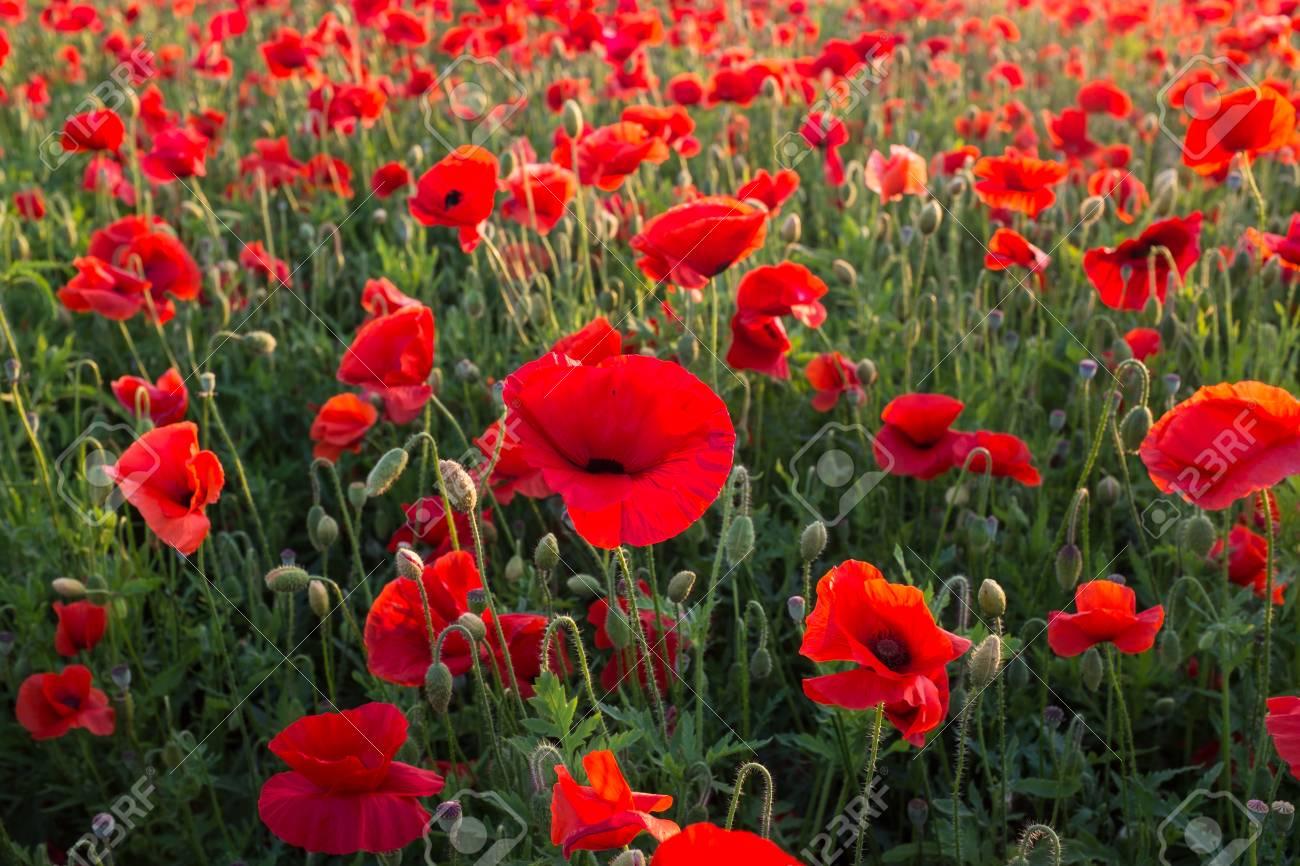 Field of red poppies Standard-Bild - 43558330