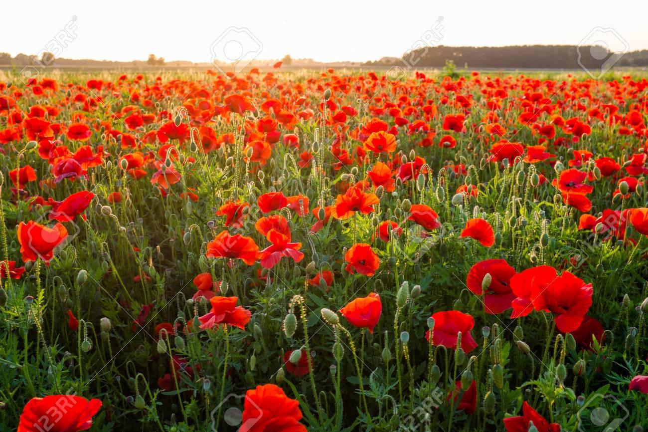 Field of red poppies in summer Standard-Bild - 43558331