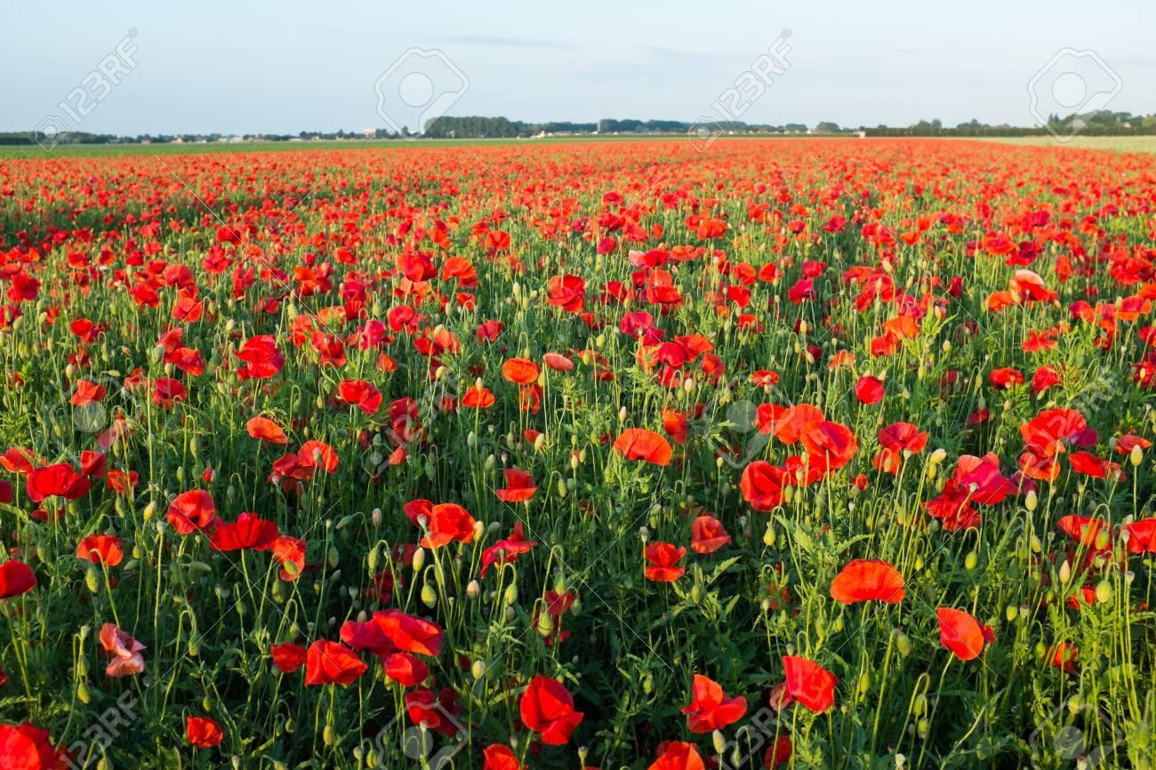 Field of bright red poppies in summer Standard-Bild - 43558332