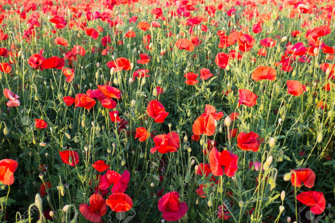 Meadow with beautiful bright red poppy flowers in spring Standard-Bild - 43558333