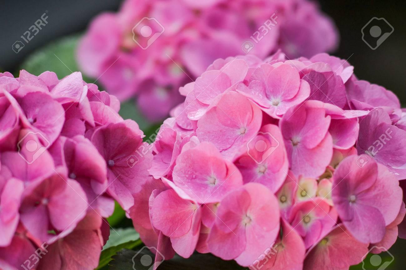 pink hydrangea flower Standard-Bild - 43558335