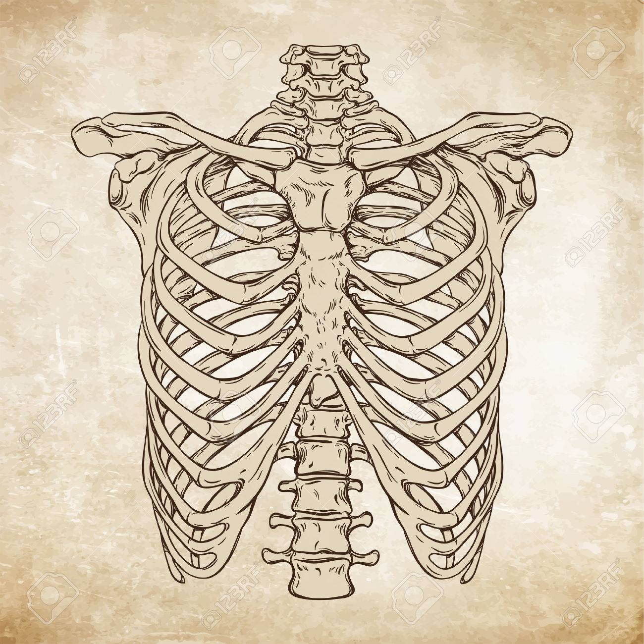Hand drawn line art anatomically correct human ribcage. Da Vinci sketches style over grunge aged paper background vector illustration - 61784313