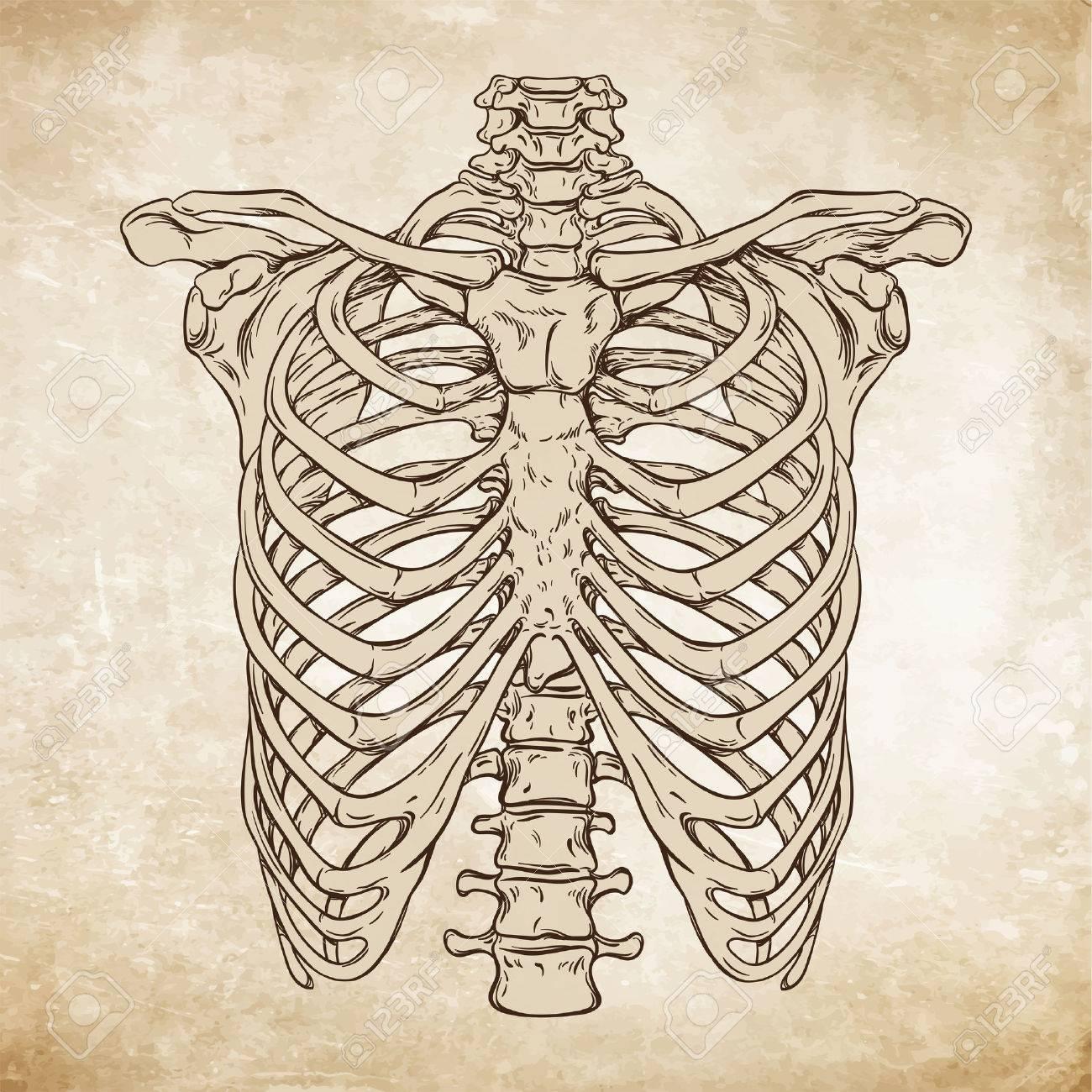 Hand Drawn Line Art Anatomically Correct Human Ribcage. Da Vinci ...