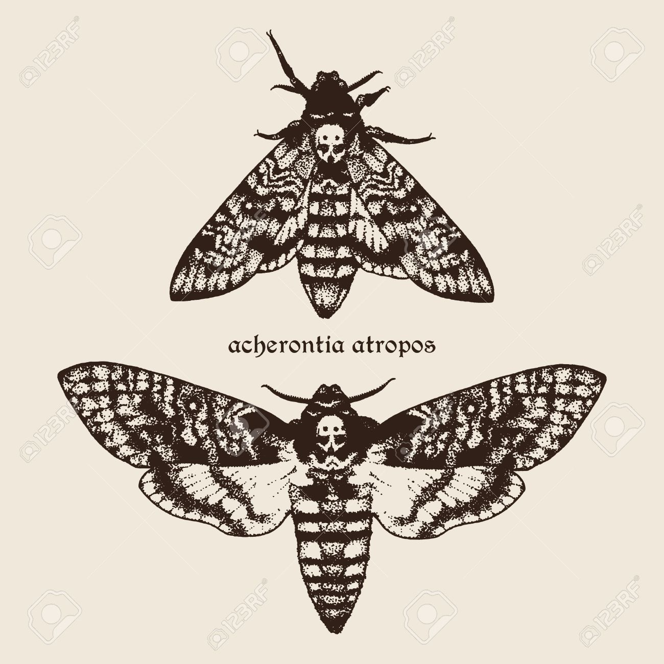 Vector hand drawn Deaths head hawk moths illustration. Signature is the Latin name of the species - 61784350