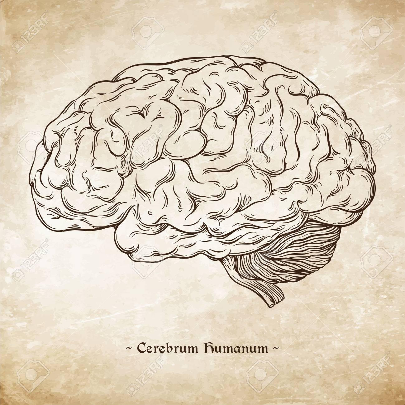 Hand Drawn Line Art Anatomically Correct Human Brain. Da Vinci ...