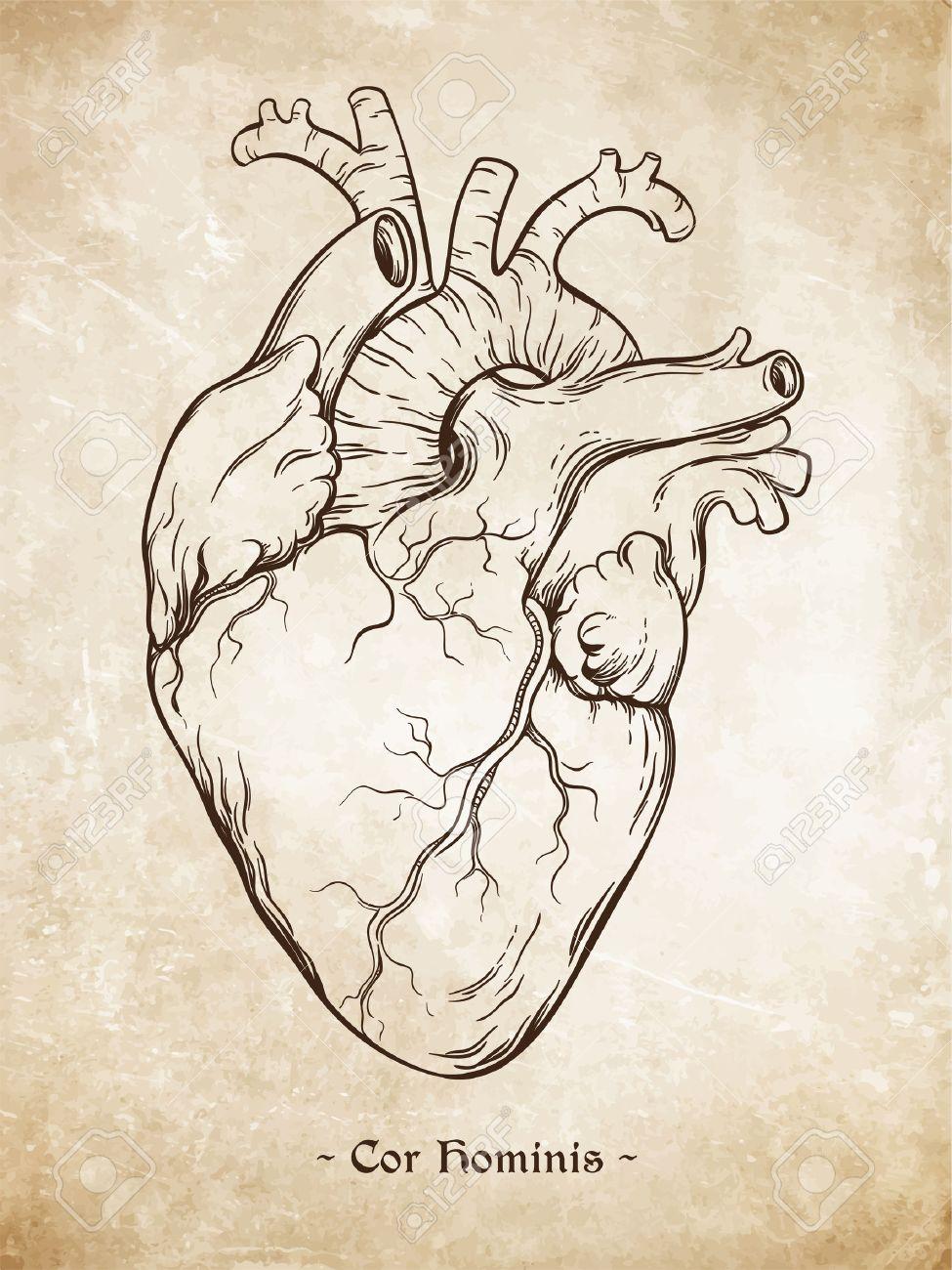 Hand Gezeichnete Linie Kunst Anatomisch Korrekte Menschliche Herz ...