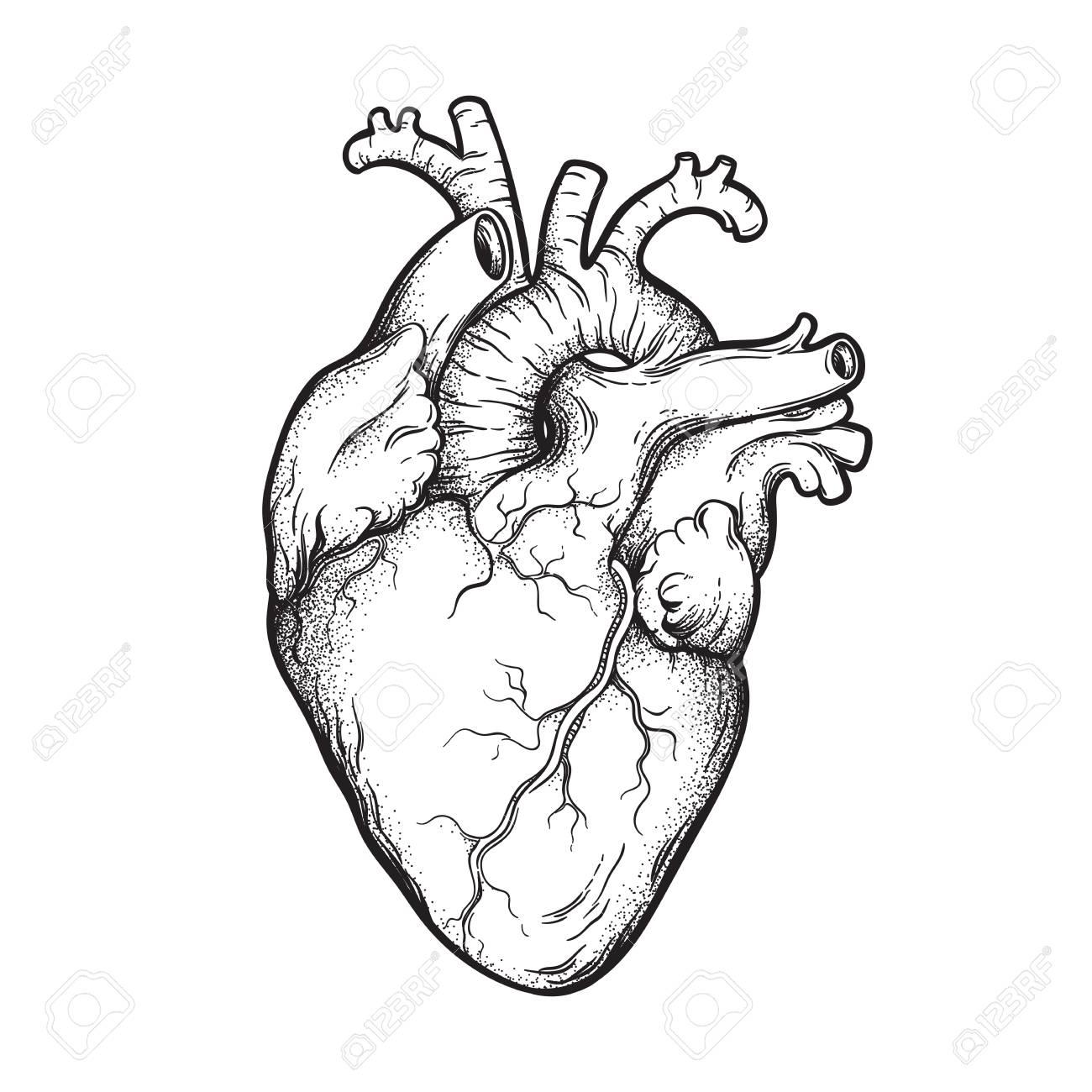 Human heart anatomically correct hand drawn line art and dotwork. Flash tattoo or print design vector illustration - 104274088