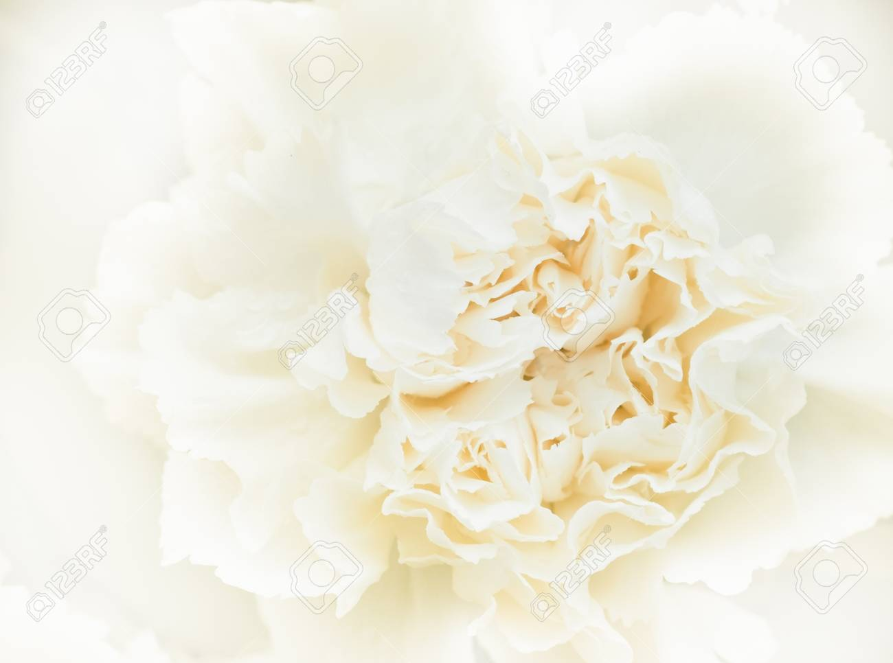 White Carnation Flower In Soft And Blur Style For Background Stock ...