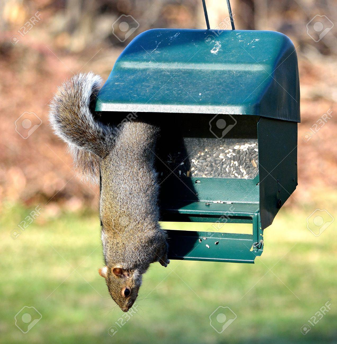 bird uk stock inside photo september a trapped proof feeder squirrel grey