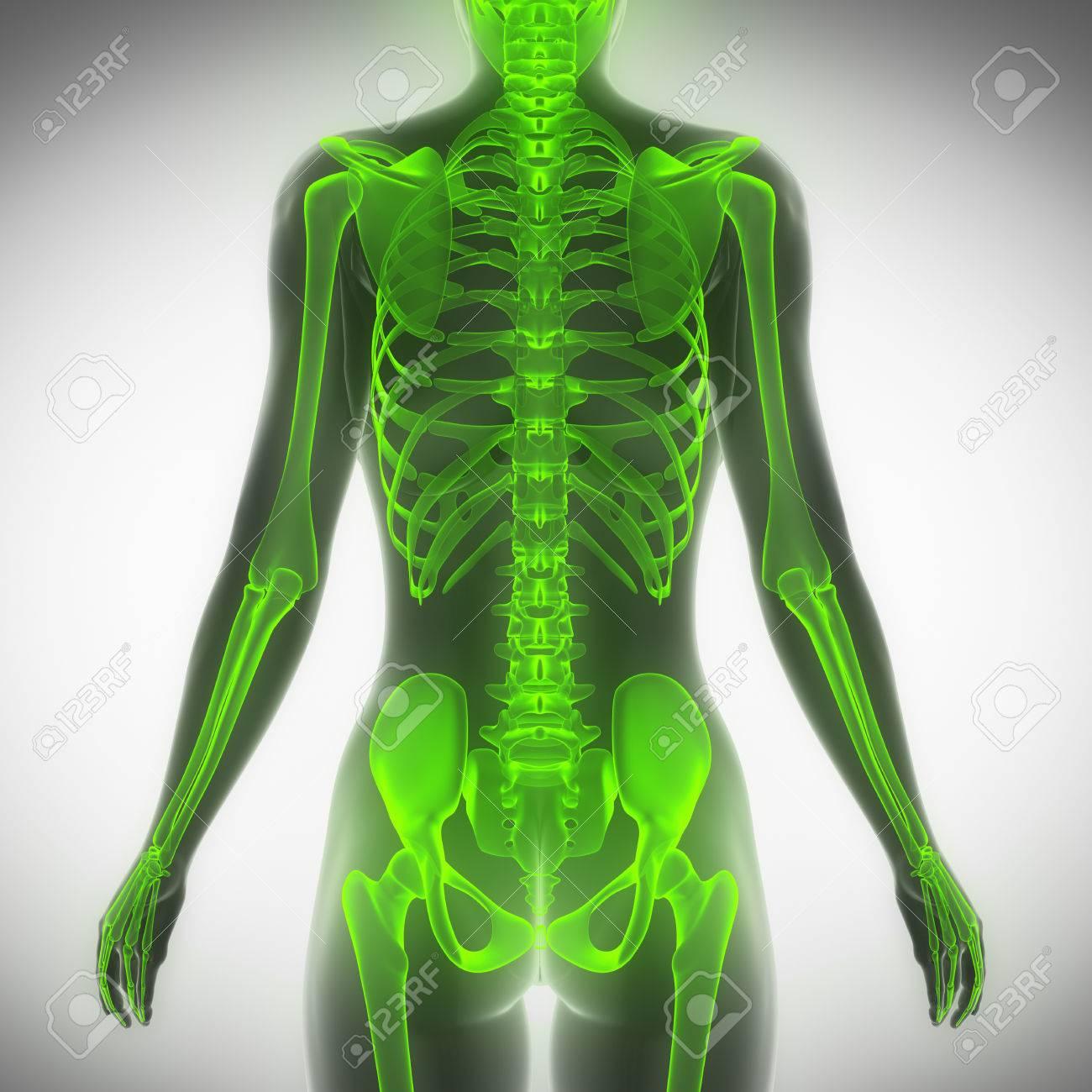 Mujer Esqueleto Torso Anatomía Exploración Vista Posterior Fotos ...