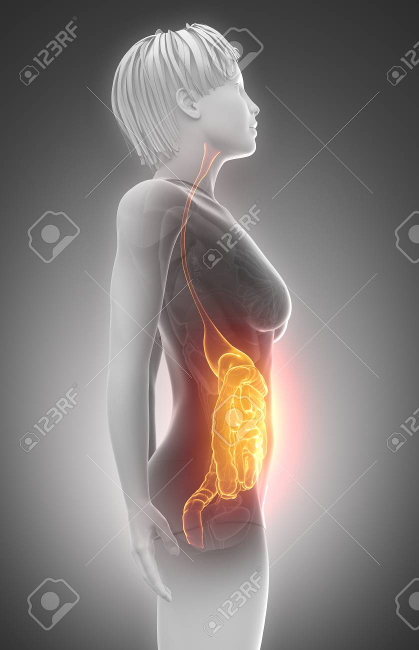 Female Guts And Stomach Anatomy X-ray Scan Stock Photo, Picture And ...
