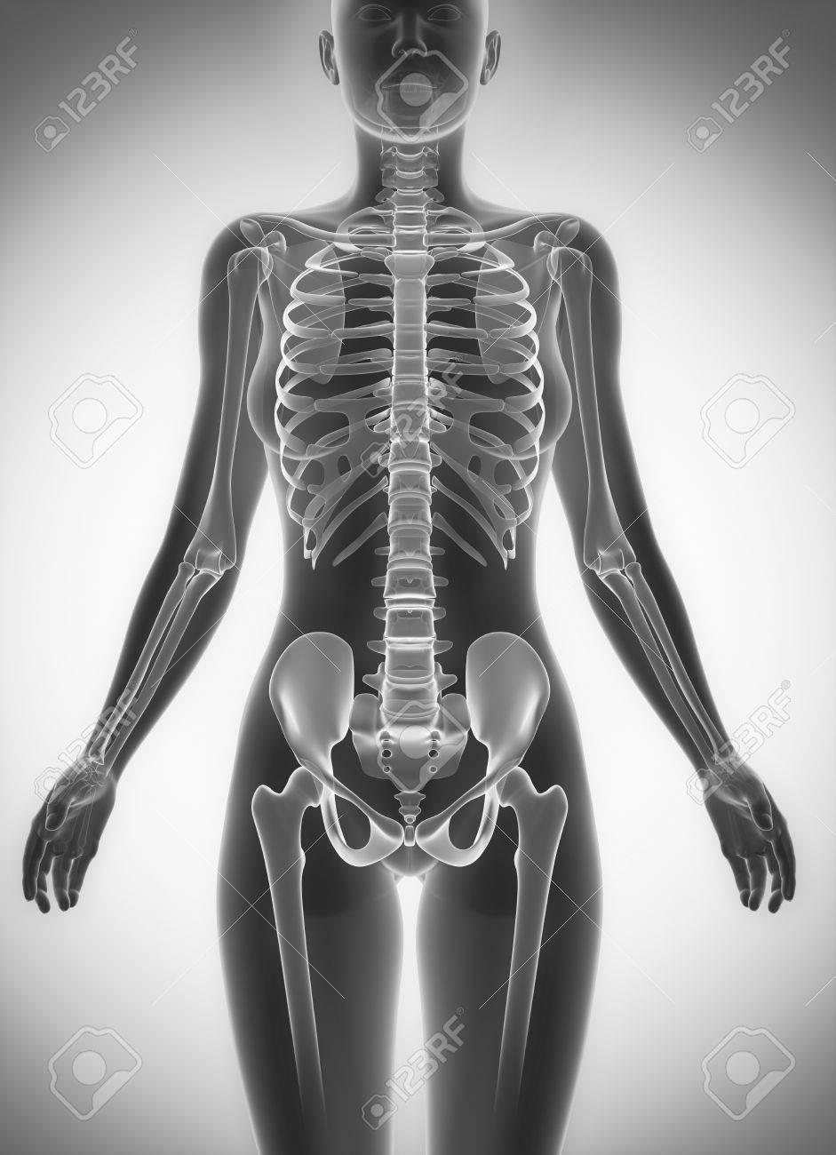 Torso Femenino Esqueleto Exploración Anatomía Fotos, Retratos ...